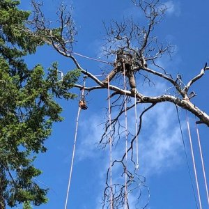 Dead Arbutus removal over tiny home