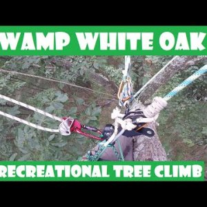 Swamp White Oak Recreational Tree Climb With A Friend