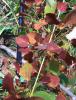Bronze_Leaf_Disease-1.png