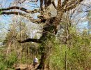 White Oak on Brierwood Rd. from Olymus 021~2.jpg