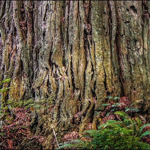 Giant Coast Redwood